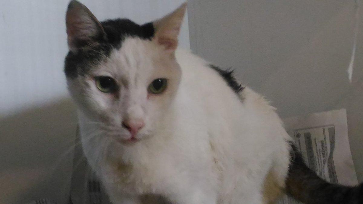 via Rittmayer, trovato Gatto maschio bianco e nero: si cerca il proprietario
