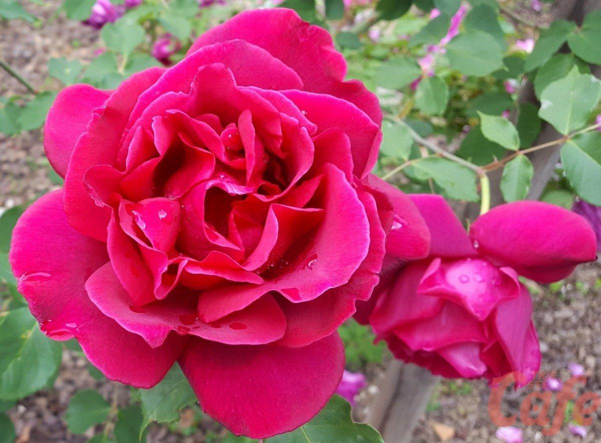 A Nova Gorica è tempo di Festival delle Rose: visite guidate, eventi e concerti