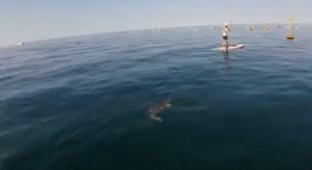 Grignano, lo splendido incontro con una tartaruga Caretta caretta! (VIDEO)